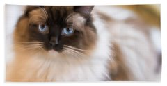 Seal Point Bicolor Ragdoll Cat Beach Towel
