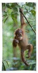 Beach Towel featuring the photograph Sumatran Orangutan Pongo Abelii One by Suzi Eszterhas