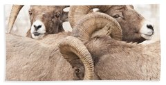 Three Bighorn Rams Beach Towel