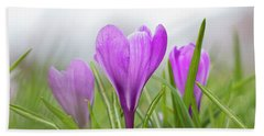 Three Glorious Spring Crocuses Beach Sheet