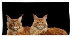 Beach Towel featuring the photograph Two Ginger Maine Coon Cat On Black by Sergey Taran