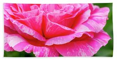 Variegated Pink And White Rose Petals Beach Towel
