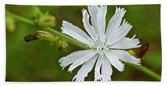 White Chicory  Rare Color Phase   Cichorium Intybus Beach Towel