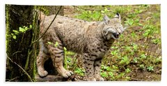 Wild Bobcat In Mountain Setting Beach Towel by Teri Virbickis