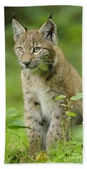 Young European Lynx Beach Towel