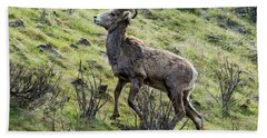 Beach Towel featuring the photograph Young Ram Climbing by Mike Dawson