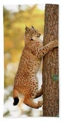 Climbing Up... Young Lynx  Beach Towel