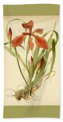 Iris Cuprea Copper Iris.  Beach Sheet