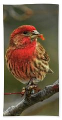 Male House Finch With Crabapple Beach Towel