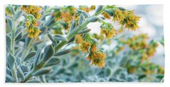 Mexican Echeveria In The  Morning Beach Towel