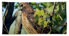 Red-tailed Hawk Looking Down From Tree Beach Towel