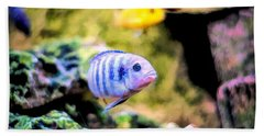 Beach Towel featuring the digital art Rock Cichlid Blue Zebra by Don Northup