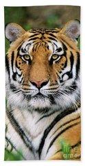 Siberian Tiger Staring Endangered Species Wildlife Rescue Beach Towel