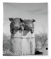 1950s Two Duroc Pigs Piglets In A Nail Fleece Blanket