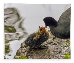 American Coot Feeding Chick Fleece Blanket