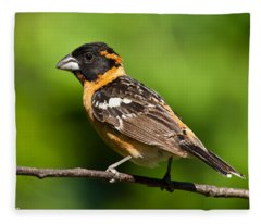 Male Black Headed Grosbeak In A Tree Fleece Blanket
