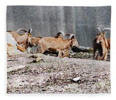 Meeting Of Barbary Sheep Fleece Blanket