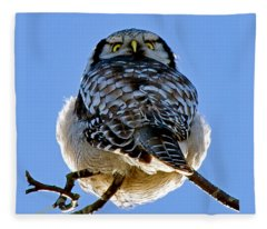 Northern Hawk Owl Looks Around Fleece Blanket