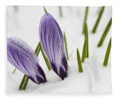 Two Purple Crocuses In Spring With Snow Fleece Blanket