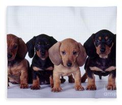 Dachshund Puppies  Fleece Blanket