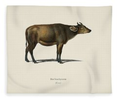 Cow  Bos Brachyceros  Illustrated By Charles Dessalines D' Orbigny  1806-1876  Fleece Blanket