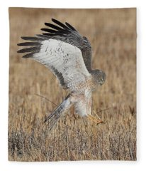 Northern Harrier Attacks Fleece Blanket