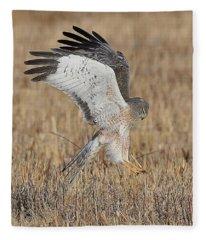 Northern Harrier Attacks Fleece Blanket