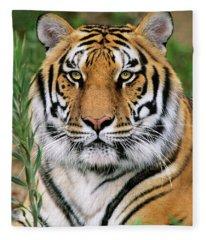 Siberian Tiger Staring Endangered Species Wildlife Rescue Fleece Blanket