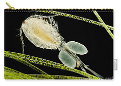 Female Copepod Cyclops Sp., Lm Carry-all Pouch