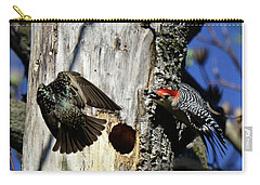 Red Bellied Woodpecker Harassed By A Starling Carry-all Pouch
