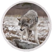 Round Beach Towel featuring the photograph Adult Timber Wolf by Wolves Only