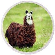 An Alpaca Vicugna Pacos Poses Round Beach Towel