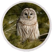 Barred Owl In A Pine Tree. Round Beach Towel