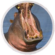 Close-up Of A Hippopotamus Yawning Round Beach Towel by Panoramic Images