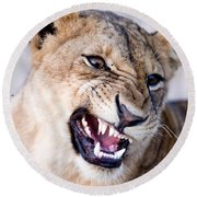 Close-up Of A Lioness Panthera Leo Round Beach Towel