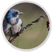 Florida Scrub Jay Round Beach Towel