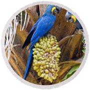 Hyacinth Macaws Anodorhynchus Round Beach Towel