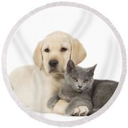 Labrador Puppy With Chartreux Kitten Round Beach Towel