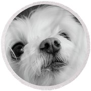 Portrait Of A Maltese Dog Round Beach Towel