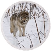 Round Beach Towel featuring the photograph Timber Wolf by Wolves Only