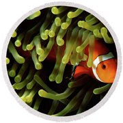 Underwater Scene Of Clown Anemonefish Round Beach Towel