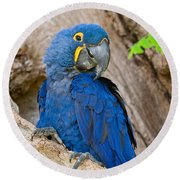 Close-up Of A Hyacinth Macaw Round Beach Towel