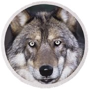 Round Beach Towel featuring the photograph Gray Wolf Portrait Endangered Species Wildlife Rescue by Dave Welling
