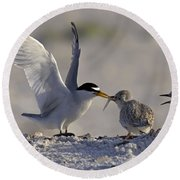 Least Tern Feeding It's Young Round Beach Towel by Meg Rousher