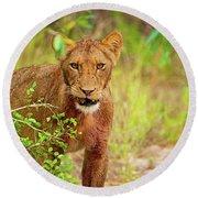 Lion Panthera Leo Round Beach Towel