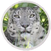Snow Leopard Round Beach Towel by John Telfer