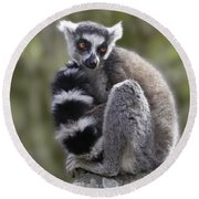 Ring-tailed Lemur Round Beach Towel by Liz Leyden