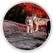 Timber Wolves Under A Red Maple Tree - Pano Round Beach Towel