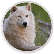 Arctic Wolf Round Beach Towel by Wolves Only
