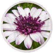 3d Berry White Cape Daisy - Osteospermum  Round Beach Towel
